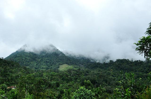 Sâm bảy lá: Thần dược trên núi Trà Bồng