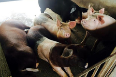 Tết ăn sạch: Lợn giun quế, rượu sâu chít
