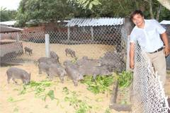 Cử nhân về quê nuôi heo rừng thu nhập 50 triệu đồng/tháng