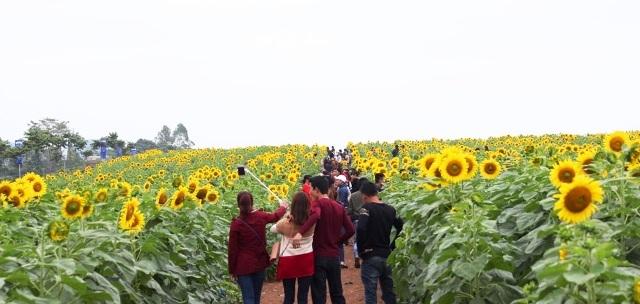 Mở cửa miễn phí, thung lũng hoa, tan hoang, hoa hướng dương, Nghệ An