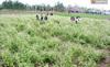 Những cánh đồng hoa đang kêu cứu vì bị giẫm tả tơi