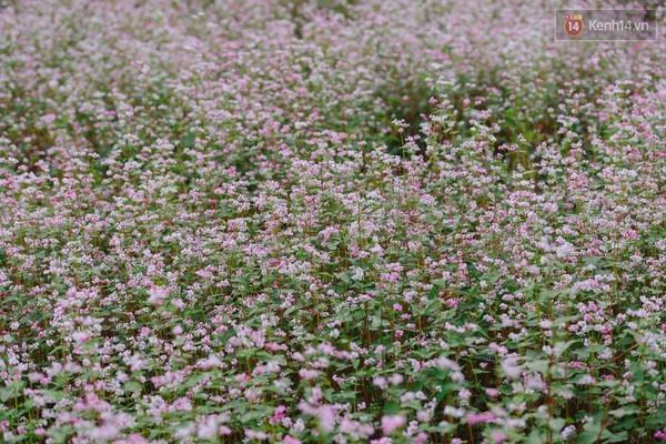 cánh đồng hoa, giẫm nát, hướng dương, tam giác mạch, vietnamnet, vnn, tin nong, tin moi, vietnamnet.vn; doc bao