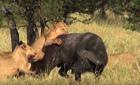 Voi gầm vang cứu trâu rừng thoát khỏi bầy sư tử