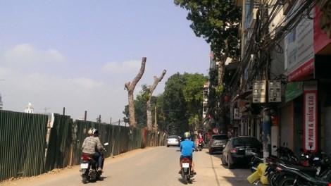 chặt cây xanh, Hà Nội, chặt cây cổ thụ, xà cừ