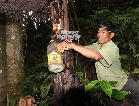 Kỳ lạ Quảng Nam: Đục thân cây lấy rượu uống
