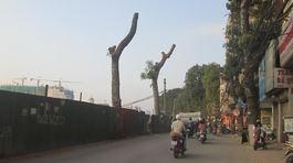 Hà Nội: Đã được cấp phép để chặt cây cổ thụ