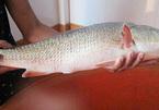 Cá sủ vàng: Lộc trời giá tiền tỷ
