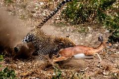 Báo đốm hạ gục linh dương nhanh như chớp