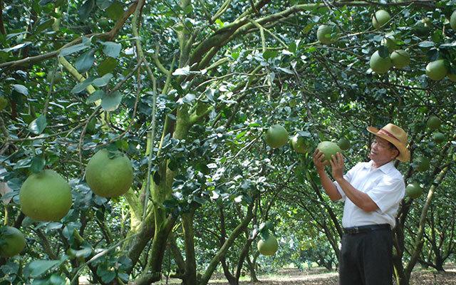 Lão nông thu nhập 30 tỷ đồng từ chanh, bưởi không hạt