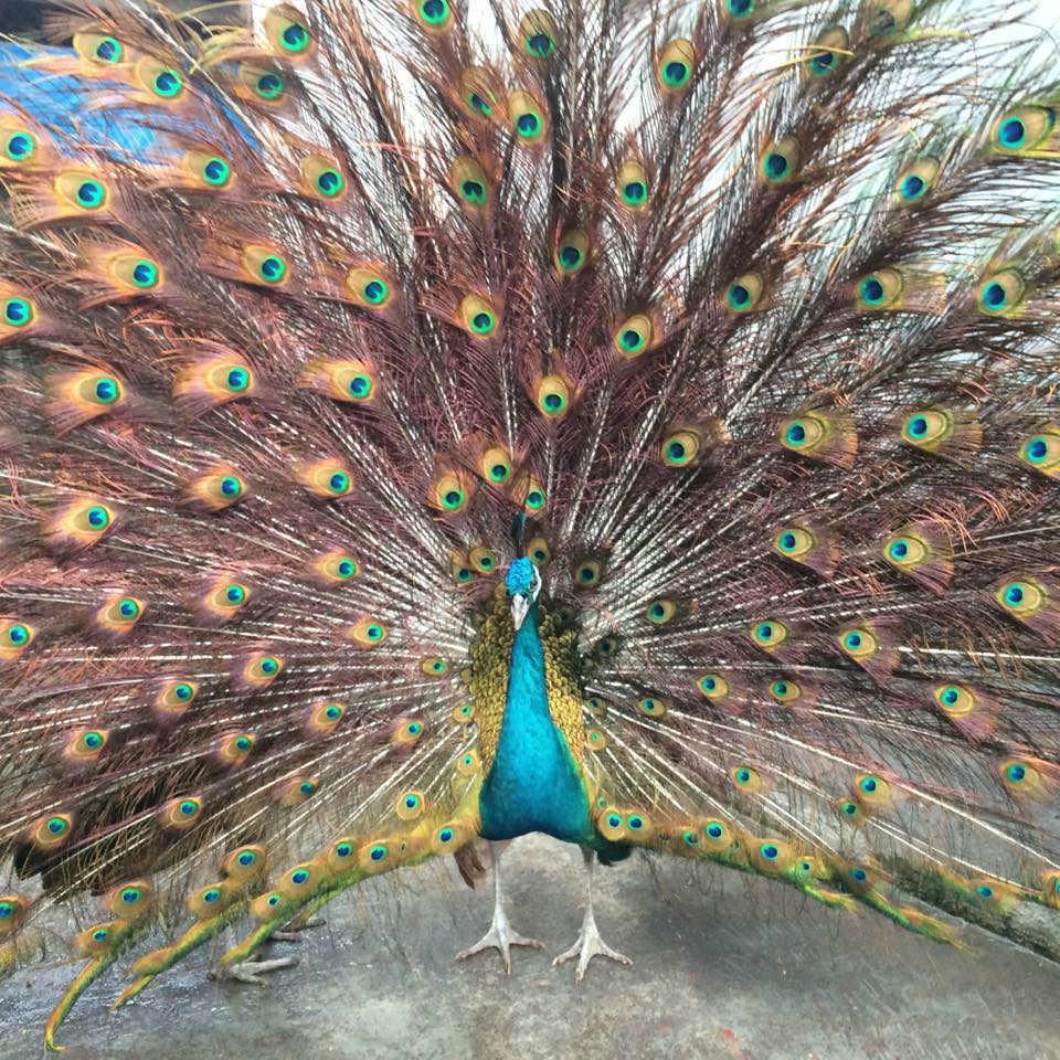 Biếu sếp chim công chục triệu làm nem giải độc