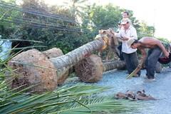Nông dân Bến Tre bứng dừa bán giá 200.000 một cây