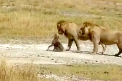 Kỳ lạ cảnh 2 sư tử 'khủng' tha mạng linh cẩu