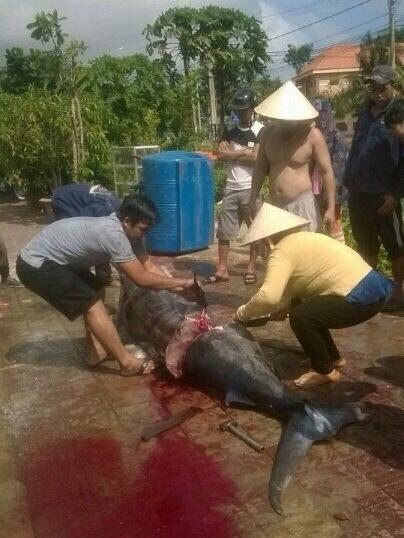 Ngư dân Côn Đảo câu được cá thu 'khủng' nặng 175kg