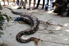 Bắt được trăn 'khủng' nuốt nguyên con bê ở Quảng Nam