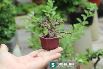 Bonsai tý hon, cao 3cm giá 4000 USD