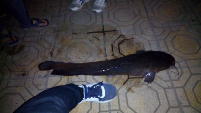 Cá trê dài 1 mét gây xôn xao Hà Nội