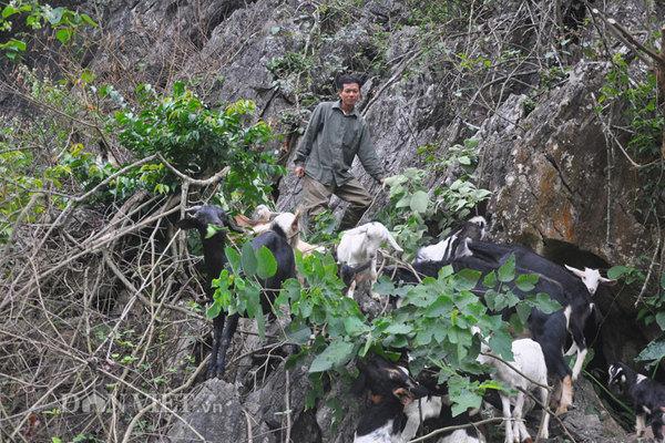 Nhà giàu vượt núi săn dê rừng sạch làm đặc sản ăn Tết