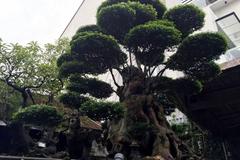 Ngắm cây mai 500 tuổi bậc nhất kinh thành Huế