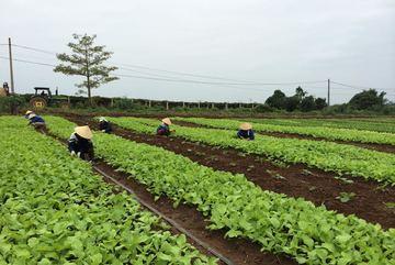 Đắt đỏ rau hữu cơ: Ba năm ủ đất, bắt sâu bằng tay