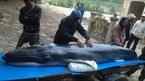 Cá voi tìm đến đền thờ ông ngư... để chết