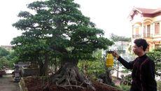 Cây cảnh 20 tỷ trưng Tết: Báu vật trăm tuổi đại gia Việt