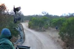 Báo đốm tung mình vồ gà rừng trên không
