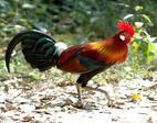 Đồ sạch cúng tết: Cặp gà rừng 10 triệu đồng