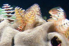 Cận cảnh loài giun biển hình cây thông Noel độc nhất vô nhị