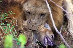 Sư tử đực xé xác linh cẩu lạc đàn