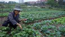 Những nông dân thứ thiệt lên Hà Thành trồng rau sạch