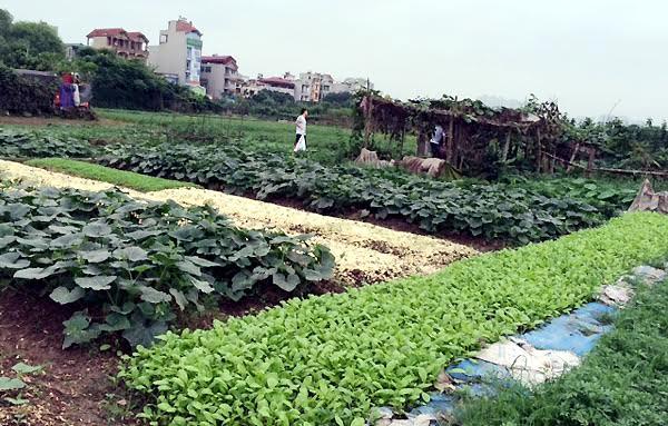 mua đất trồng rau, dân Hà thành, trồng rau, rau sạch, thực phẩm bẩn, dịch vụ thuê đất, mua-đất-trồng-rau, dân-Hà-thành, trồng-rau, rau-sạch, thực-phẩm-bẩn