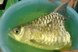 Kỳ dị cá mất nửa thân vẫn sống thêm hơn 6 tháng