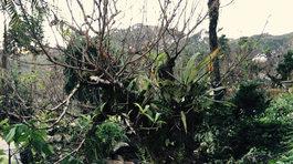 Đại gia bỏ trăm triệu mua cây bạch đào chơi Tết