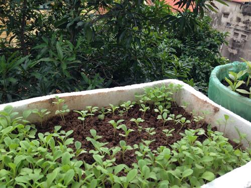 HN: Ghen tị vườn rau sạch kín lan can của cô nàng 9x