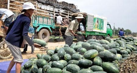 Trung Quốc sang Lào trồng dưa hấu: Việt Nam lại đi giải cứu