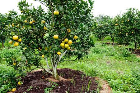1 vạn trái cam quý Xã Đoài Nghi Diên trưng Tết