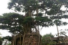 'Cụ cây' độc trăm tuổi huyền bí, đại gia gạ đổi Rolls Royce chục tỉ