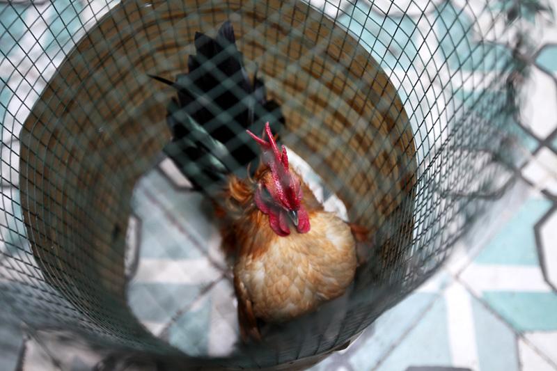 Gà tre, gà Serama, gà cảnh, gà thượng lưu, thú ăn chơi,