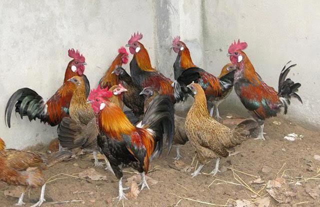 gà rừng triệu đô, gà rừng, gà rừng thuần chủng, gà rừng tai đỏ, gà rừng tai trắng, nuôi gà rừng, gà sạch, Tết Nguyên đán, đại gia, gà-rừng-triệu-đô, gà-rừng, gà-rừng-tai-đỏ, gà-rừng-tai-trắng, nuôi-gà-rừng, gà-sạch, Tết-Nguyên-đán, đại-gia