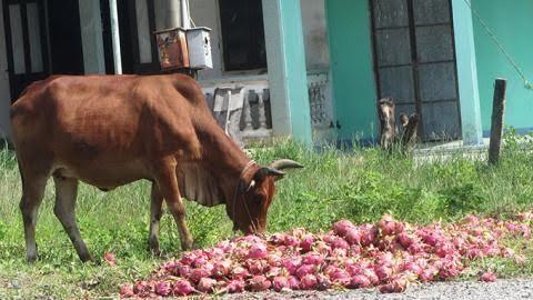 Dân Lục Ngạn lên hương: Giải kiếp 'đổ cho bò ăn'