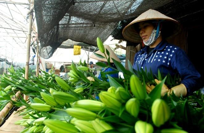 Đà Lạt, lập nghiệp, hoa Lily, làm giàu, cơ hội, tiền tỷ. nông dân, phát tài