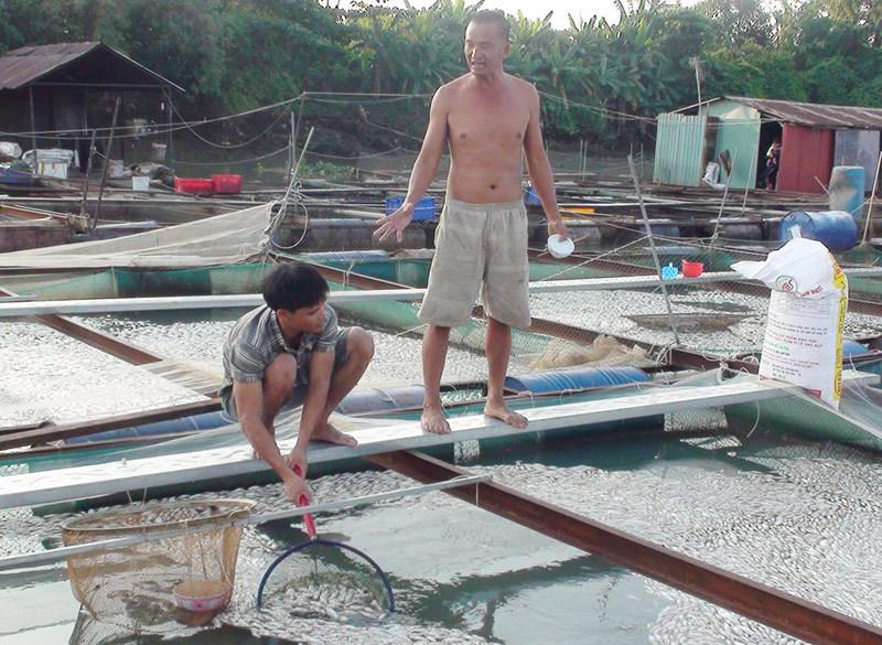 cá chết, nổi kín mặt sông, ngư dân, mất tỷ đồng