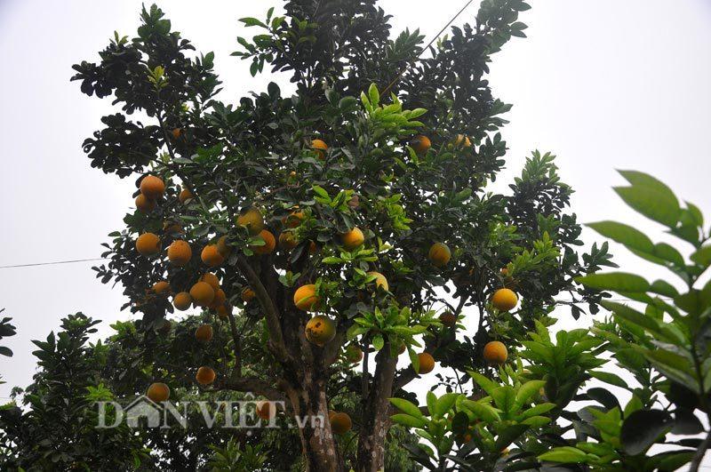 """Cây bưởi cổ thụ cao hơn 5m giá """"nghìn đô"""" ở Hưng Yên"""