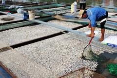 Nguyên nhân 200 tấn cá chết kín sông Đồng Nai