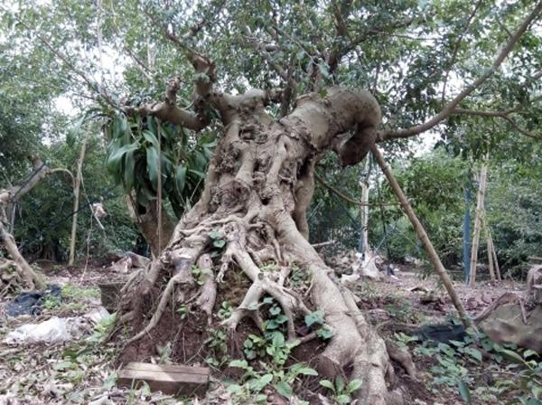 Vườn cây cảnh chục tỷ của lão nông thành Nam