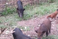 Đặc sản lợn rừng ăn tăng trọng, uống thuốc ngủ chờ Tết