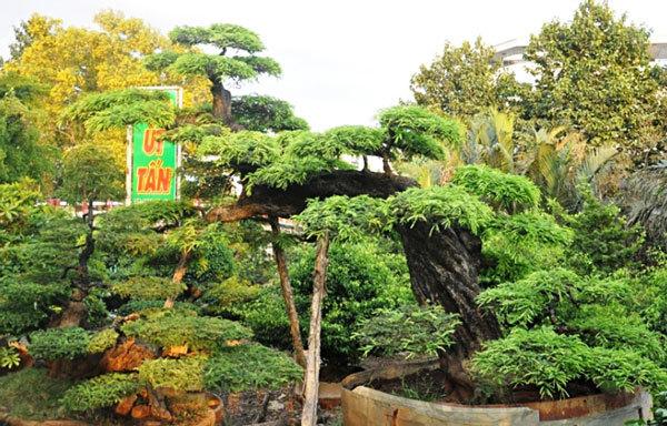 cây me, 100 tuổi, sài gòn, giáng long, tiền tỷ, cây kiểng độc