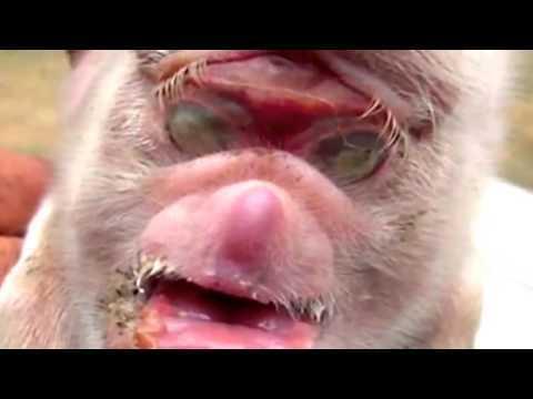 Xuất hiện quái thú mặt khỉ mình lợn gây sốc
