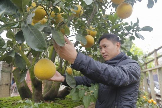 Hà Nội: Cây bưởi 100 triệu không bán