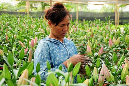 Hoa ly bung nở trước Tết, nông dân khóc ròng